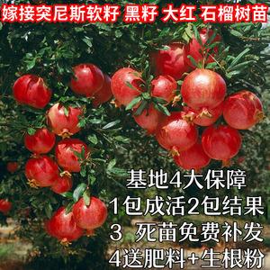 石榴树苗突尼斯软籽盆地栽当年结果南北方庭院果树特大石榴树树苗