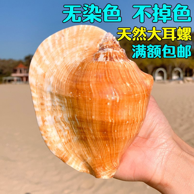 。 Giant conch natural super large conch shell big eared conch home decoration accessories meat flowerpot home furnishing