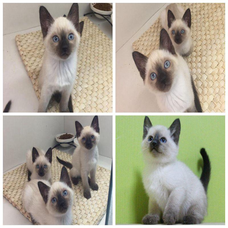 純種シャム猫の赤ちゃん猫タイの短い毛の猫の重点色の子供のペットの猫の生きている幼体の猫の生きている体