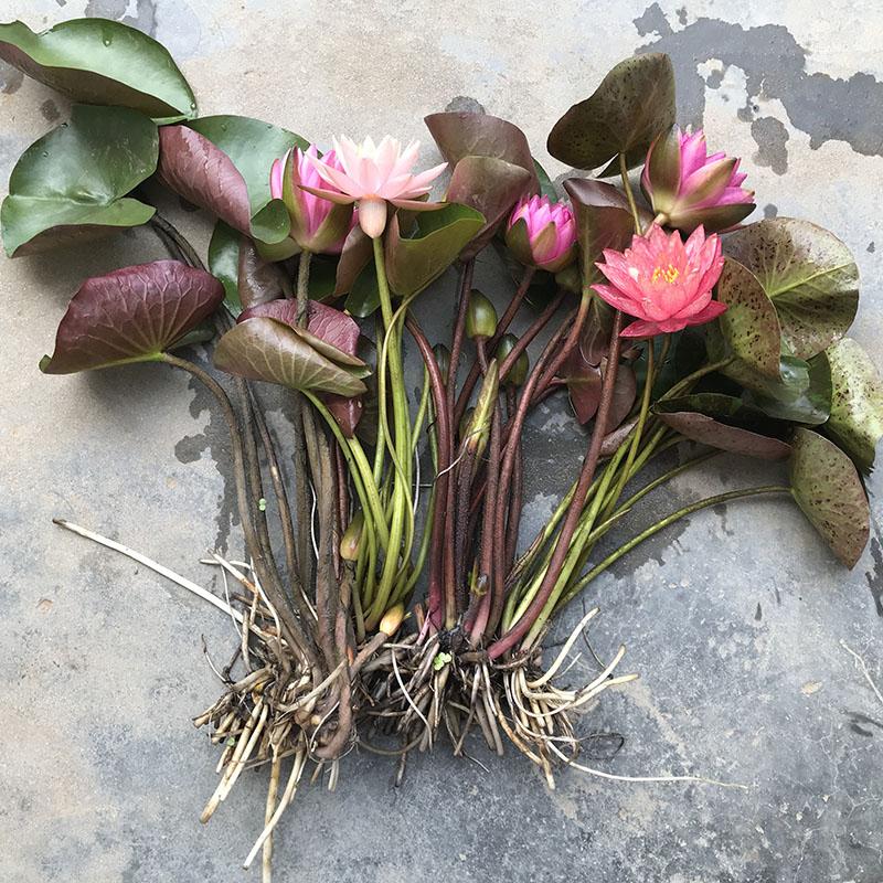 大睡莲根块微型四季种植迷你水培植物蓝色睡莲室外盆栽花卉带花苞