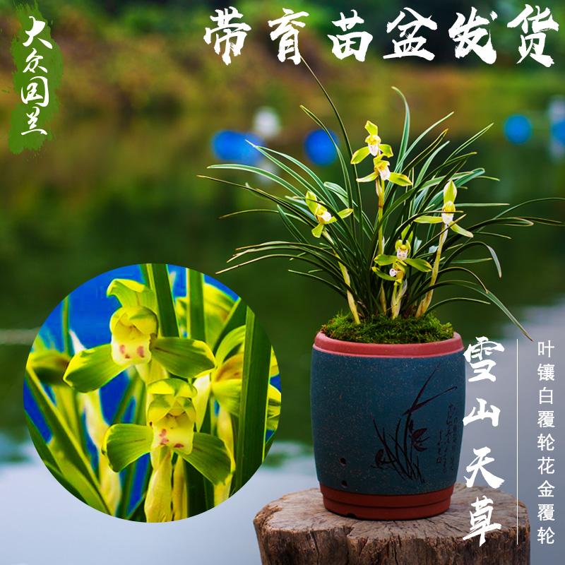 大众国兰草雪山天草春兰花苗盆栽花卉植物花艺双全浓香型不带花苞