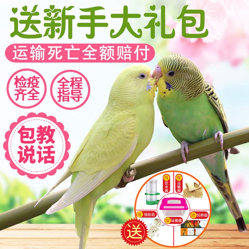 鹦鹉活鸟虎皮黄化玄凤云斑鹦鹉情侣大型会说话鹦鹉宠物鹦鹉活体鸟