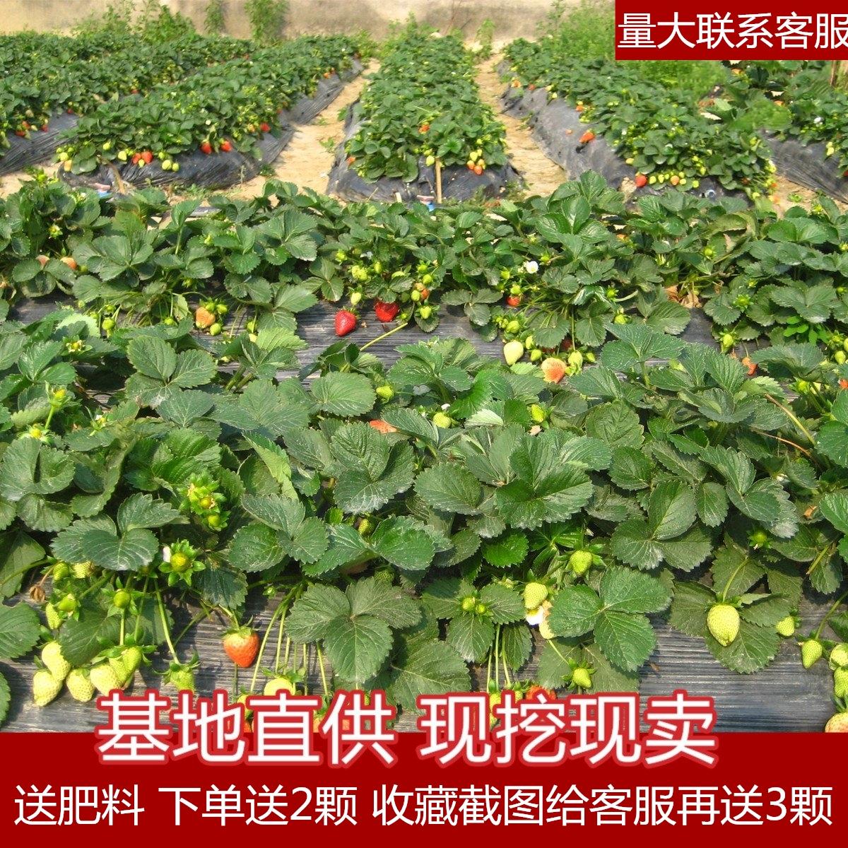 脱毒四季草莓苗牛奶油草莓秧四季结果树带土带盆栽好大棚栽食用