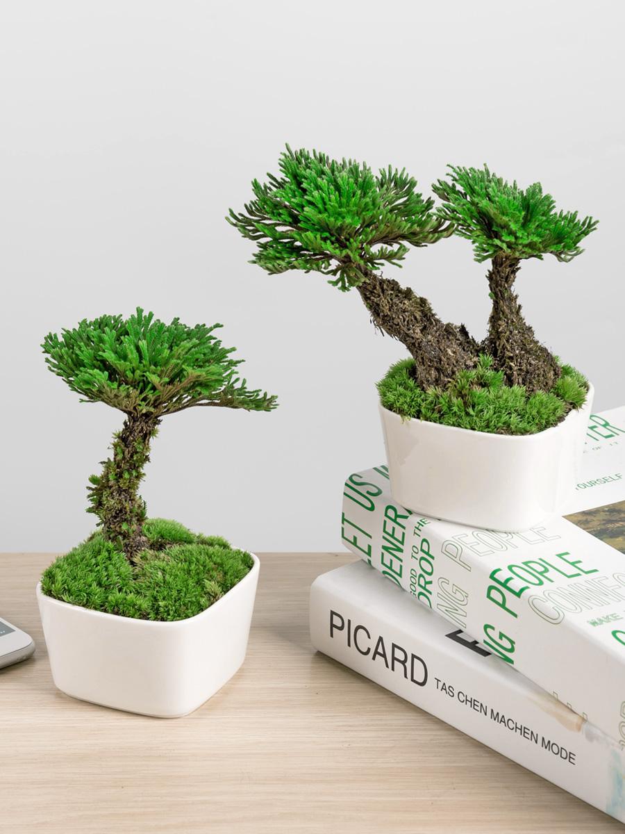 盆景好死绿办公室茶内还魂卷柏养活草野生桌面九盆栽的小植物蕨类