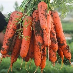新鲜水果沙地生吃新鲜红心胡萝卜