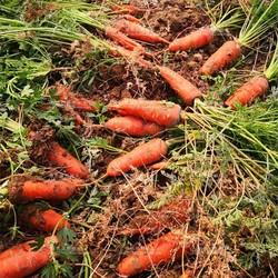 三红九寸胡萝卜种籽七寸脆甜秋季四季水果萝卜籽农家大田蔬菜种子