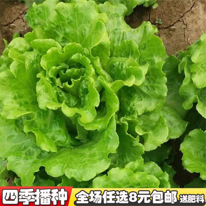 生菜种子阳台种植的菜种籽秋季室内菜孑四季水果蔬菜苗小盆栽菜籽