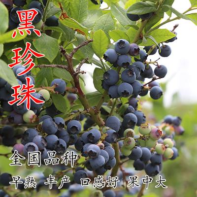 蓝莓苗盆栽地栽南北方四季水果树苗室内外庭院种植当年结果可吃