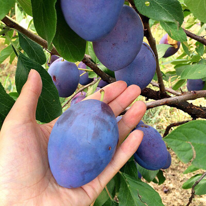 米国の黒布林のスモモの苗木は苗を接ぎ木して南方の北方でイモモの苗を植えて鉢植えに適して果物の苗を植えることに適します。