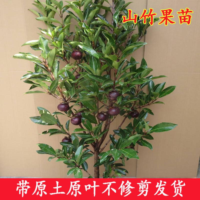 山竹树苗 嫁接改良红皮山竹水果树苗 盆栽 地栽 南方北方种植易。
