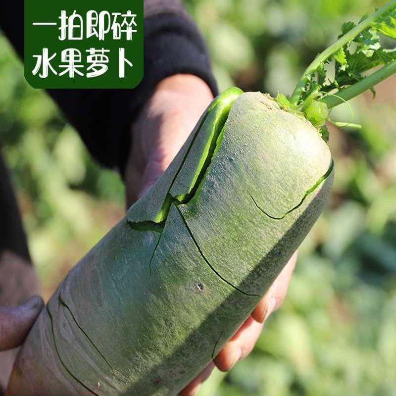 鲜馥天津沙窝萝卜生吃新鲜甜脆型水果青皮萝卜5斤新鲜蔬菜