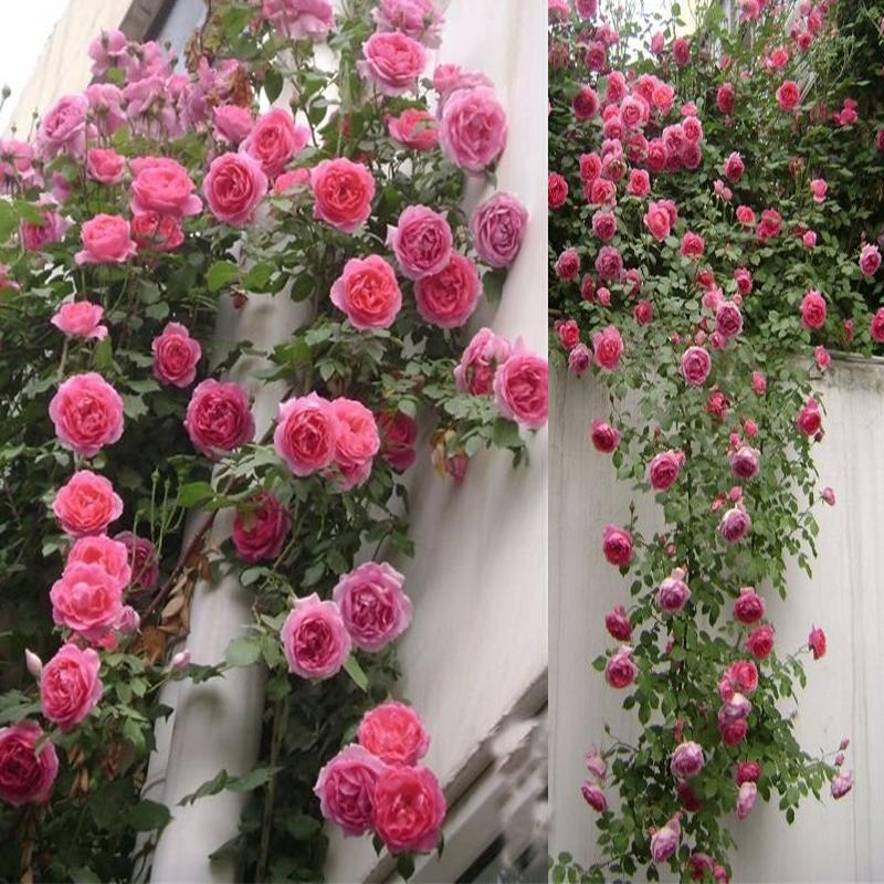 欧洲藤本月季 爬藤植物蔷薇花苗 爬墙花阳台庭院攀援花卉欧月苗