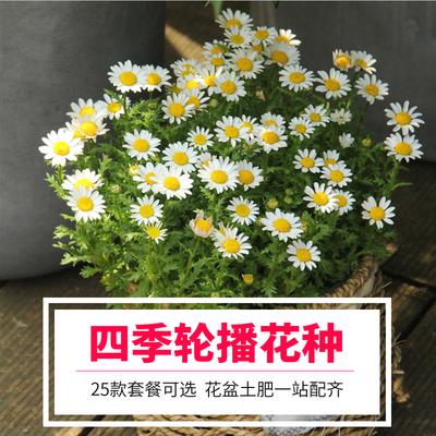 花种子小雏菊种子易爆盆四季易种易活盆栽苗太阳花室内外阳台庭院