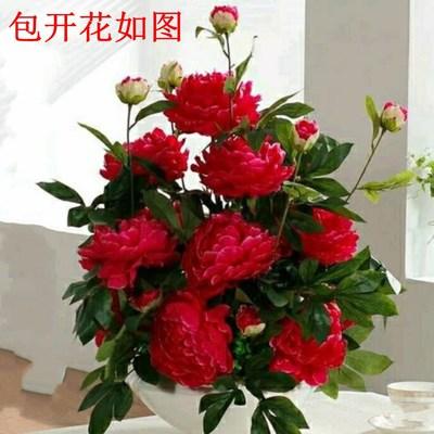洛阳大花重瓣牡丹花苗盆栽大苗庭院地栽耐寒花卉观赏牡丹当年开花