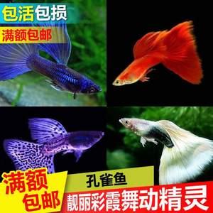 孔雀鱼活体公母免邮纯种宠物鱼淡水繁殖观赏鱼热带小型凤尾鱼玛丽