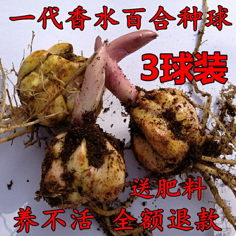 Perfume, lily, flower, ball, ball, bud, flower bud, four seasons, strong fragrance, double flower, imported lily, potted plant of Asian lily.