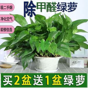 绿萝盆栽室内水养绿萝花卉吊兰水养大绿箩苗吸甲醛大绿萝鲜花植物