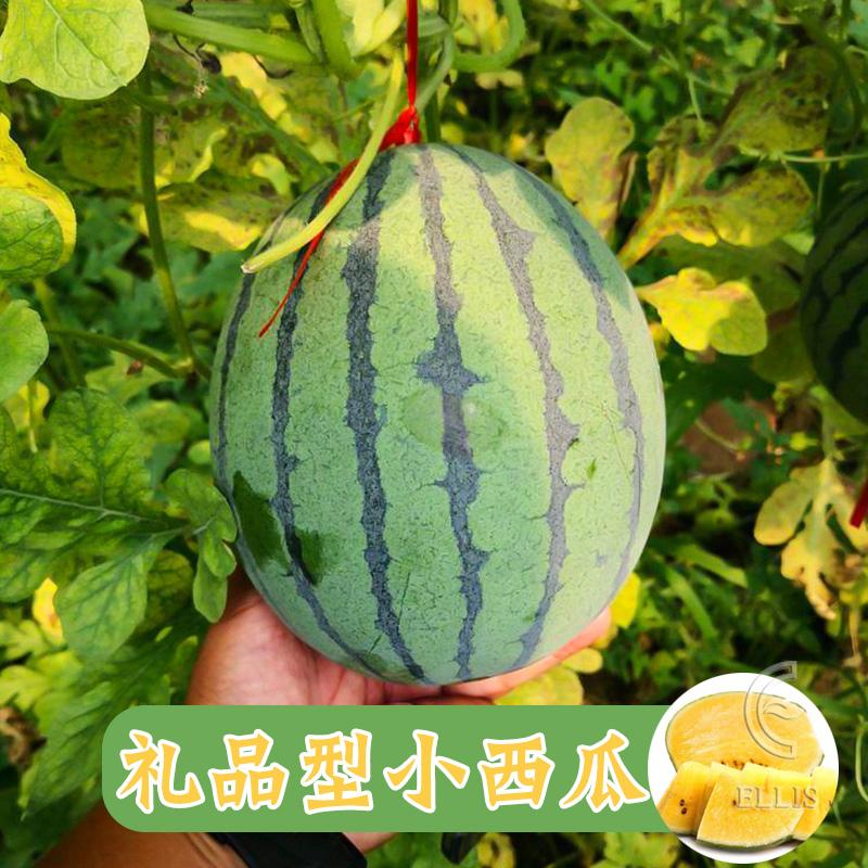 礼品型小西瓜种子苗超甜懒汉迷你小西瓜种籽四季阳台南方水果种孑
