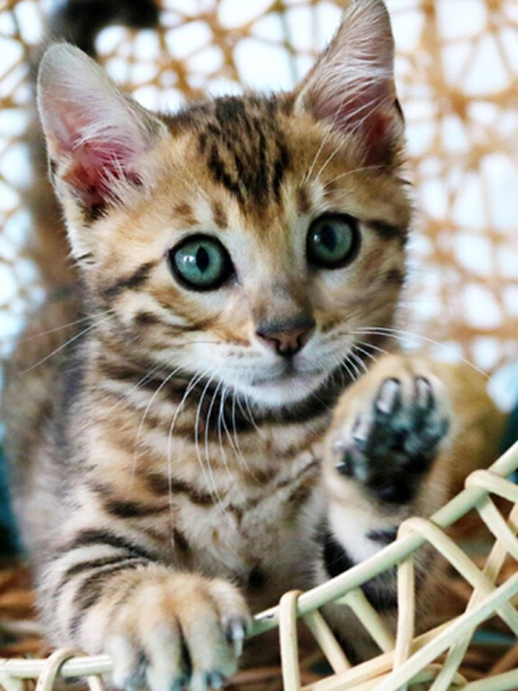 无偿领养小猫小奶猫长不大孟加拉豹猫幼崽布偶猫幼猫宠物活物猴子
