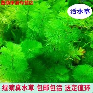 鱼缸水草植物活无土水养鱼缸造景装饰植物真新手懒人易活阴性水草