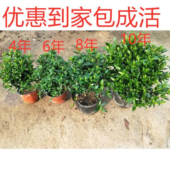 小叶牡丹栀子花盆栽带花苞浓香型花卉室内栀子花苗四季开花植物.图片