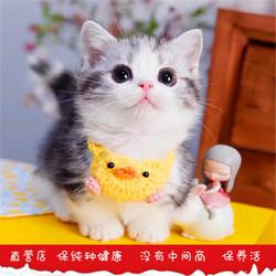 美短曼基康矮脚猫曼赤肯起司加白蓝白矮脚猫小短腿小幼猫活物宠物