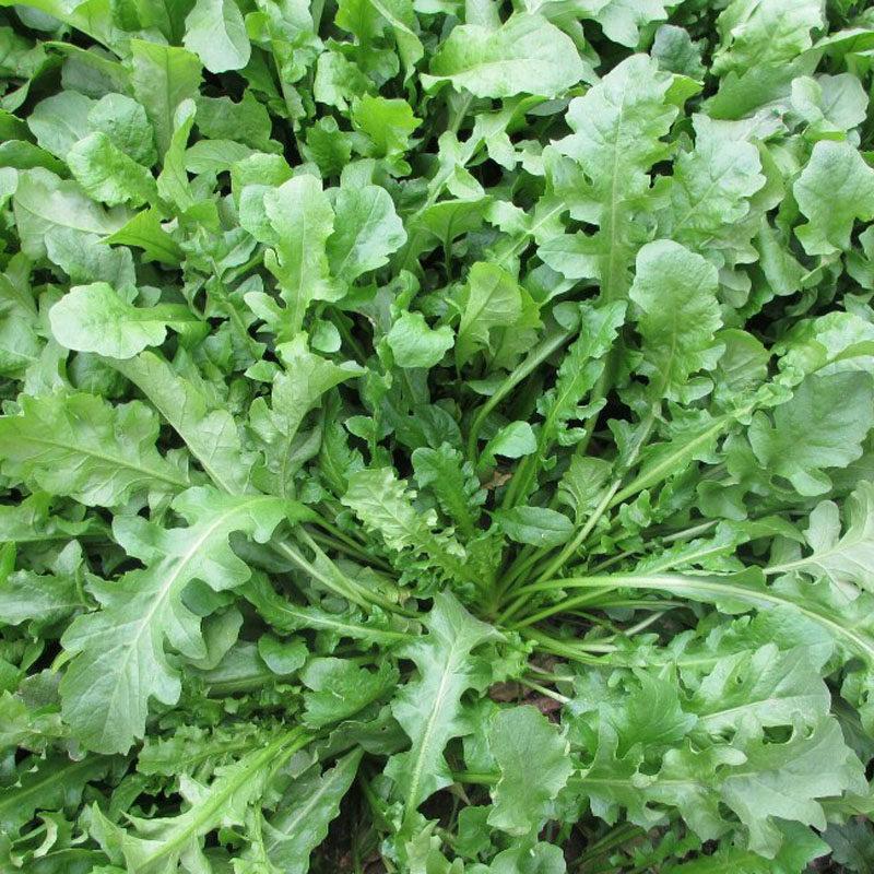 。野生荠荠菜野菜种子四季蔬菜种籽孑春季播种菜籽种大全芨芨菜农家.