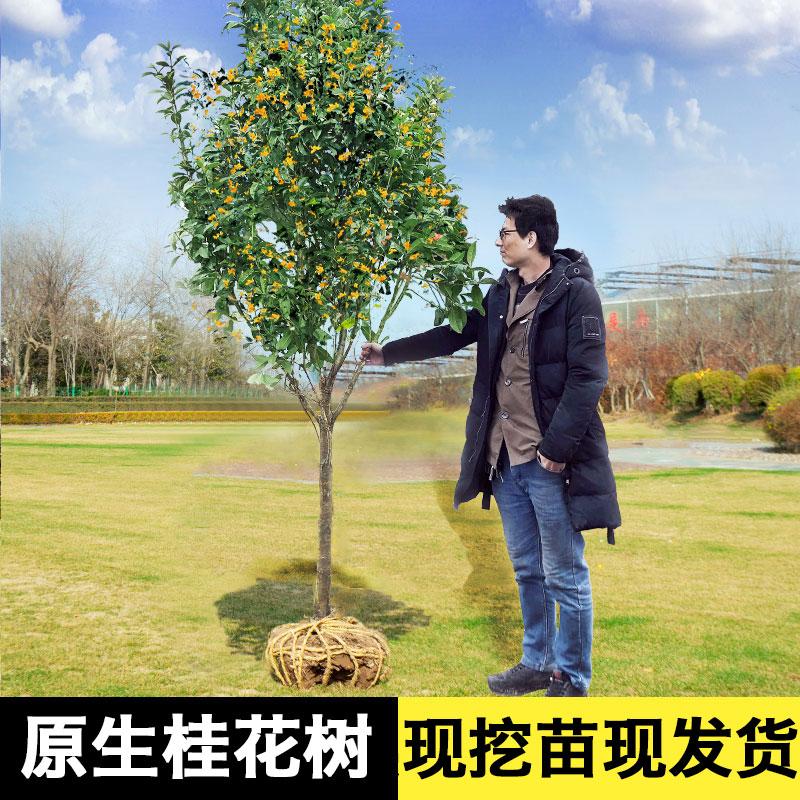 桂花树苗地栽四季桂花树大树苗金桂庭院浓香型丹桂盆栽室内盆景