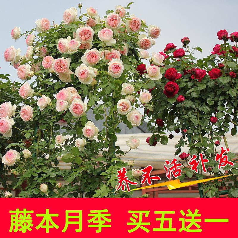 蔷薇花苗月季特大花爬藤植物四季开花卉不断庭院室外浓香玫瑰盆栽