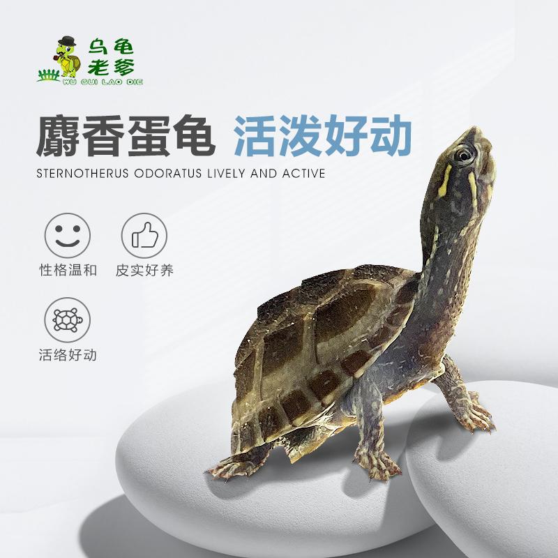 《乌龟老爹》麝香龟苗蛋龟苗剃刀龟草龟深水观赏龟小乌龟宠物龟
