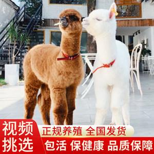 羊驼宠物家养萌宠活体可爱小羊驼幼崽澳洲神兽草泥马羊驼活物成年