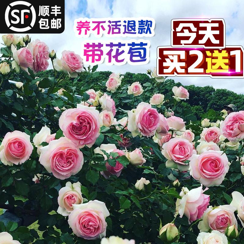 蔷薇花苗爬藤爬墙月季大苗带花苞四季开花庭院阳台玫瑰盆栽花卉