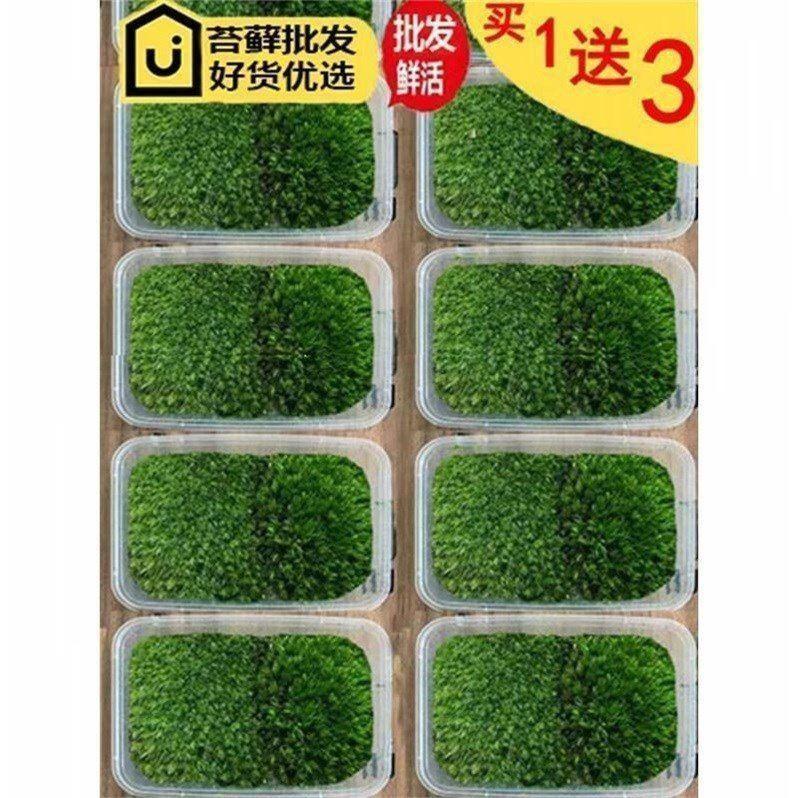 苔藓植物鲜活铺面包邮 微景观diy创意迷你植物青苔造景假山白发藓