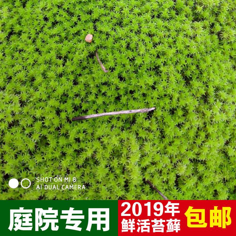 盆景苔藓植物铺面装饰微苔藓景观盆景专用装饰青苔山水鲜活