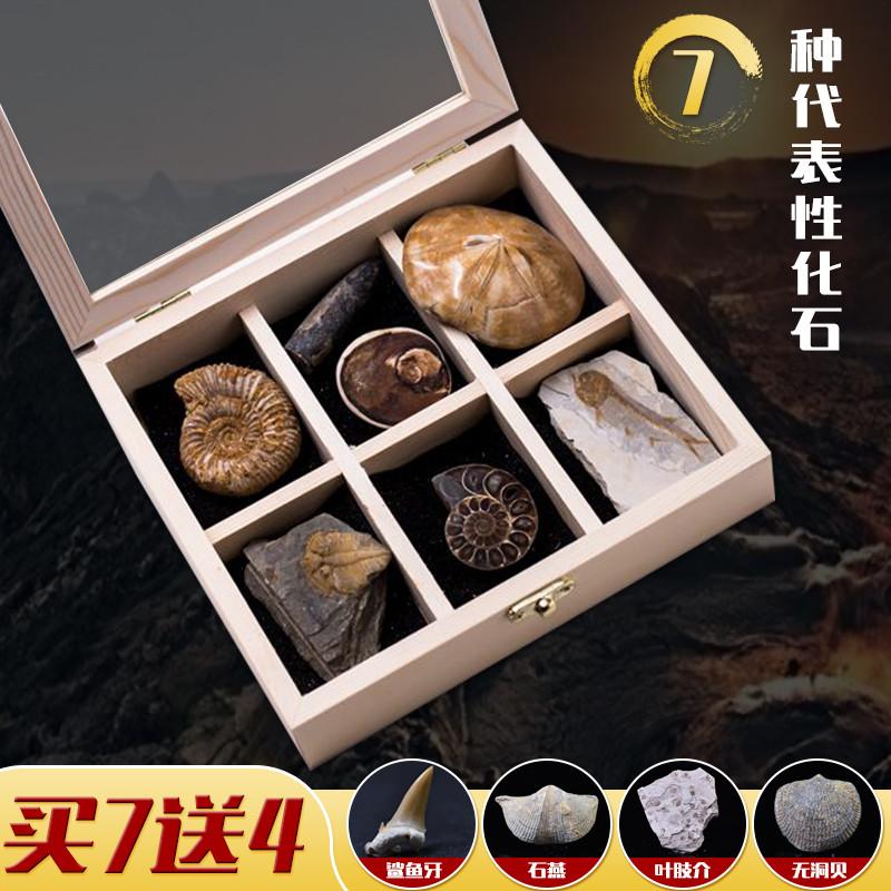 天然7种古生物动物化石三叶虫菊石保真化石标本科普教学儿童礼物 Изображение 1