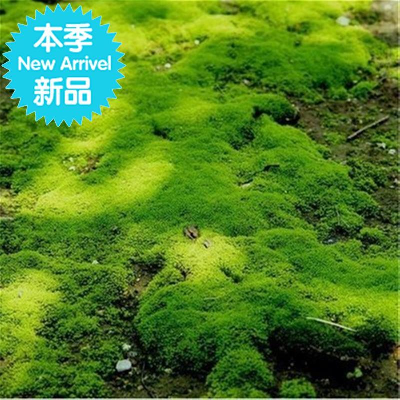 微观造景苔藓绿藓k活藓现采青苔铺面微景观假山装饰盆景迷你草皮