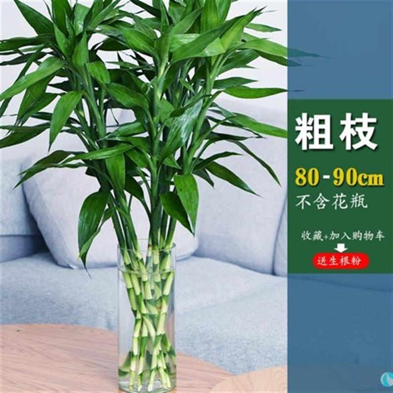 I Zhizhu green plant purification and fortune season flowers rich V bamboo hydroponic plant Sike NP thick branch Guanyin bamboo flower Office