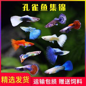 紫阳思安鱼活体热带鱼纯种观赏鱼莫斯科天空蓝大耳孔雀宠物黄白金