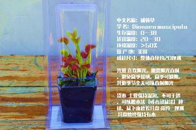 猪笼草直销瓶子多栽好植物捕蝇草膏菜人花肉食发货草茅食虫