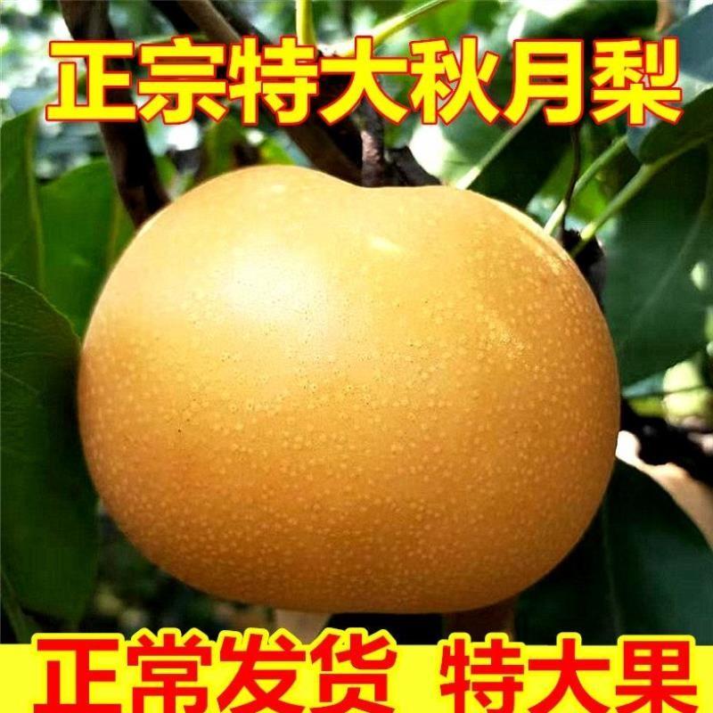 山东正宗羊脂秋月梨香梨子5斤新鲜水果莱阳冰糖梨当季整箱原产地