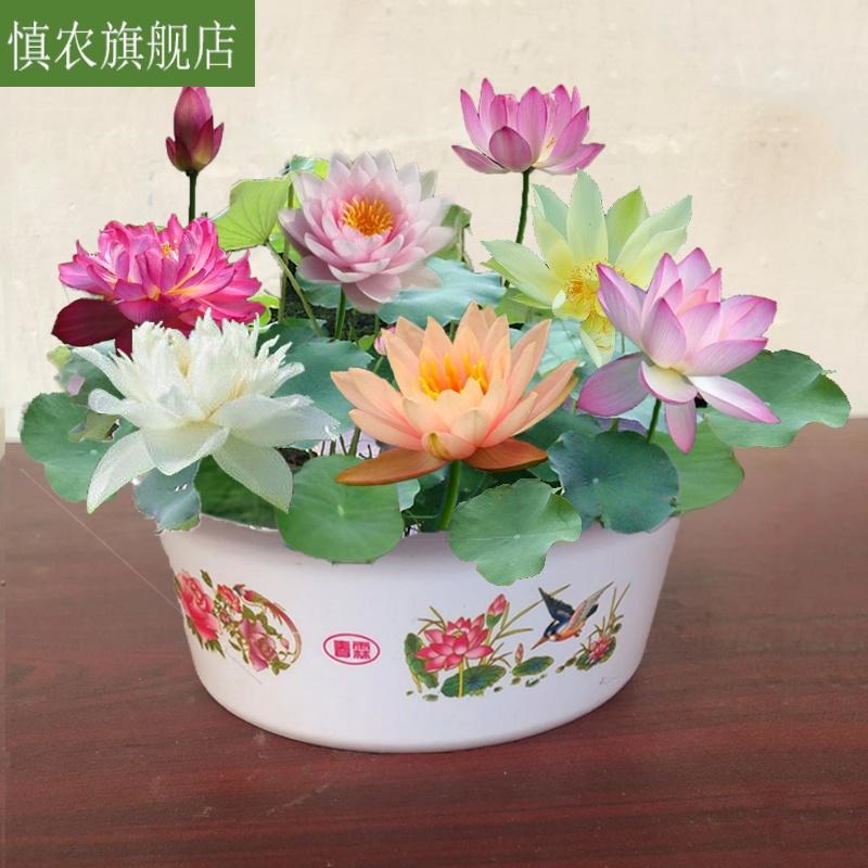 培植养室内桌面根四季迷你荷花睡莲水莲水碗水生栽培物水中花盆栽