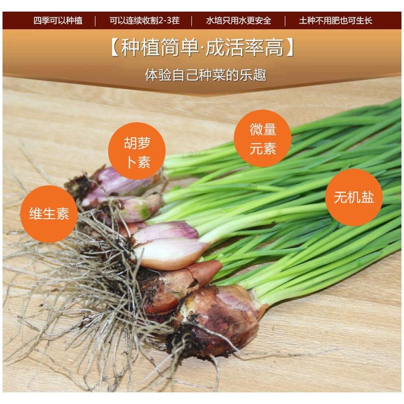 热卖水培香葱种头四季小葱种籽家庭阳台种菜盆栽S蔬菜苗葱种子葱