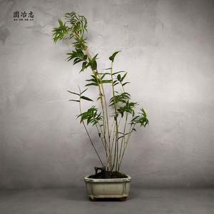园冶志 日本琴丝竹 米竹 凤尾竹 竹子盆景 室内小植栽 案台清供