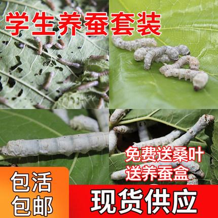 1-5龄蚕宝宝活体学生养蚕套装送新鲜桑叶白色家蚕卵批运输包活