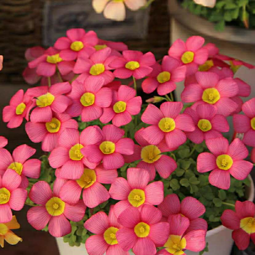 Цветочные луковицы Артикул 619290413068