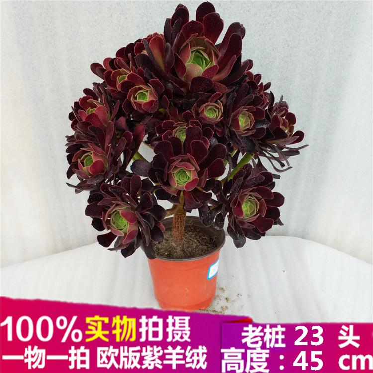欧版紫羊绒手捧花多肉植物法师一物一拍进口办公室防辐射盆栽花卉