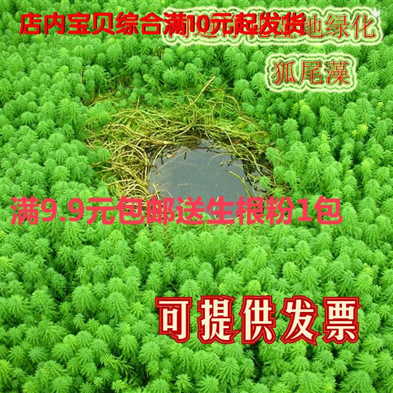 水草の沈水植物の狐尾藻が高く、草いきれがよくて新鮮な水草(輪葉)の黒藻が生えています。