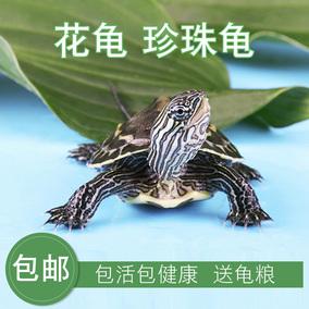 外塘中華活物珍珠龜活體寵物觀賞苗