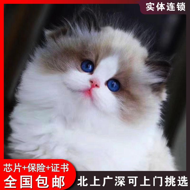 北京猫舍布偶猫活体幼猫海双蓝双重点色布偶猫活物可上门挑选