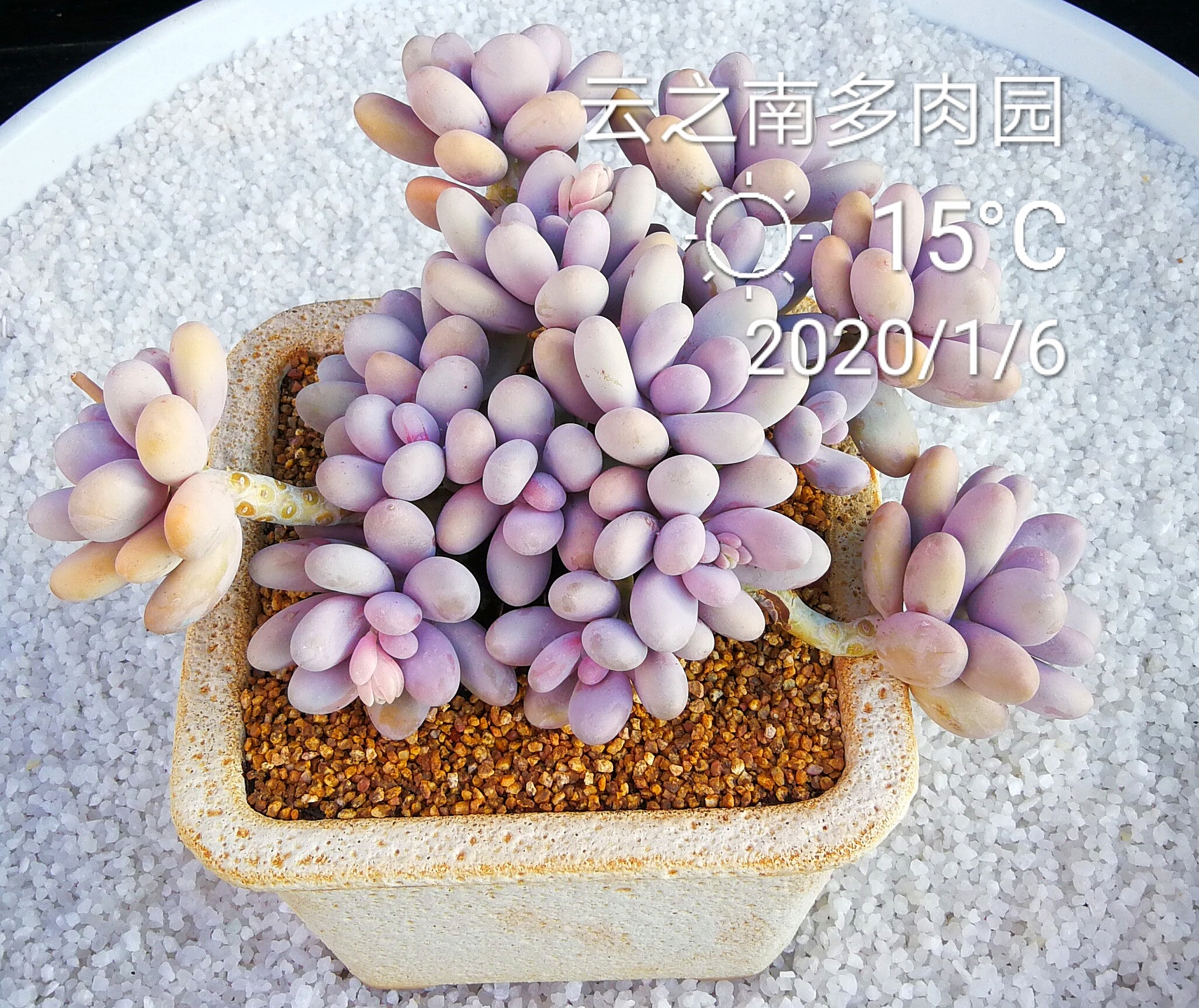 Original cheese vinston egg yolk milk succulent plant sprouting big plant potted New Years goods Festival South meat Garden